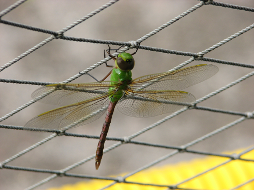 dragon-fly-on-netting