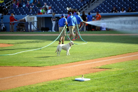 security-bank-ballpark-infield-watering-dog